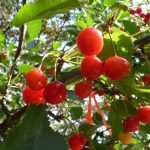 Cherry-tree-July2013-(7)